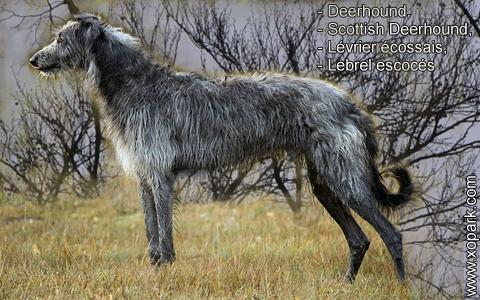 Deerhound – Scottish Deerhound – Lévrier écossais – Lebrel escocés – xopark3