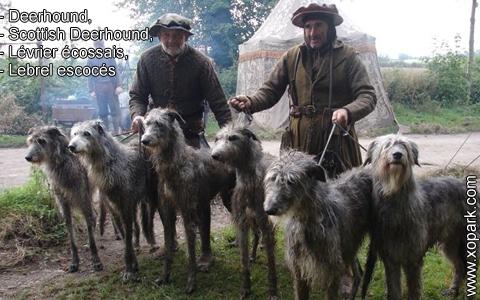 Deerhound – Scottish Deerhound – Lévrier écossais – Lebrel escocés – xopark4