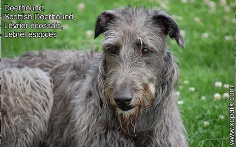 Deerhound – Scottish Deerhound – Lévrier écossais – Lebrel escocés – xopark5