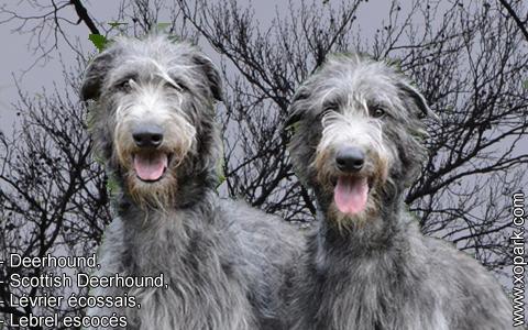 Deerhound – Scottish Deerhound – Lévrier écossais – Lebrel escocés – xopark6
