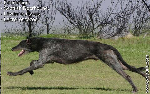 Deerhound – Scottish Deerhound – Lévrier écossais – Lebrel escocés – xopark7