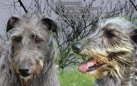 Deerhound – Scottish Deerhound – Lévrier écossais – Lebrel escocés – xopark8