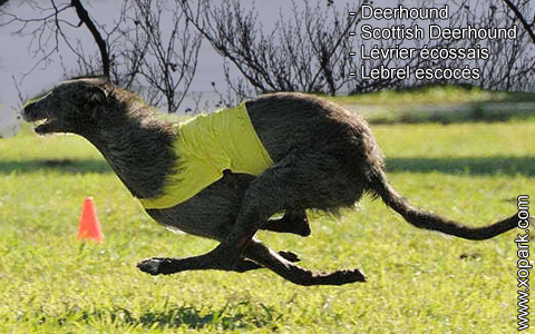 Deerhound – Scottish Deerhound – Lévrier écossais – Lebrel escocés – xopark9