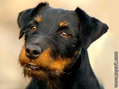 Deutscher Jagdterrier, Terrier de chasse allemand, Jagdterrier, German Jagdterrier, German Hunting Terrier, German Hunt Terrier
