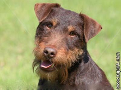 German Hunt Terrier, Deutscher Jagdterrier, Deutscher Jagd terrier, Terrier de chasse allemand, Jagdterrier, German Jagdterrier, German Hunting Terrier, German Hunt Terrier
