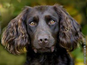 Deutscher Wachtelhund - German Spaniel - Chien d'oysel allemand