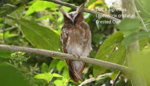 Duc à aigrettes - Lophostrix cristata - Crested Owl