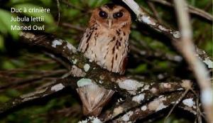 Duc à crinière - Jubula lettii - Maned Owl