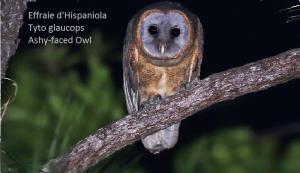 Effraie d'Hispaniola Tyto glaucops Ashy-faced Owl