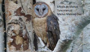 Effraie de Manus Tyto manusi Manus Masked Owl