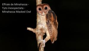Effraie de Minahassa - Tyto inexspectata -Minahassa Masked Owl