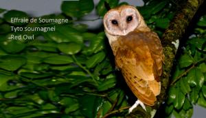 Effraie de Soumagne Tyto soumagnei Red Owl