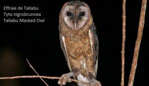 Effraie de Taliabu Tyto nigrobrunnea Taliabu Masked Owl