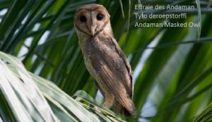 Effraie des Andaman Tyto deroepstorffi Andaman Masked Owl