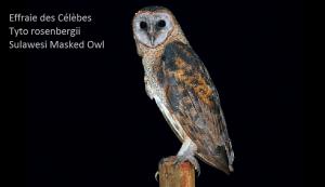 Effraie des Célèbes Tyto rosenbergii Sulawesi Masked Owl
