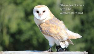 Effraie des clochers Tyto alba Western Barn Owl