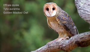 Effraie dorée Tyto aurantia Golden Masked Owl
