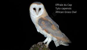 Effraie du Cap Tyto capensis African Grass Owl