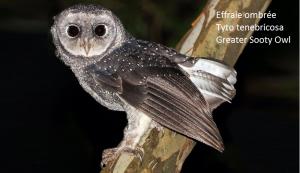 Effraie ombrée Tyto tenebricosa Greater Sooty Owl