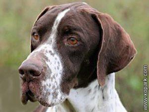 English Pointer, Pointer dog breed