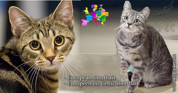 European shorthair,EuropéenouCeltic shorthair