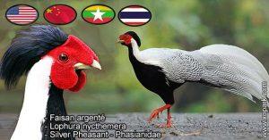 Lophura nycthemera ouFaisan argenté est une espèce des Faisans famille des Phasianidés (Phasianidés)