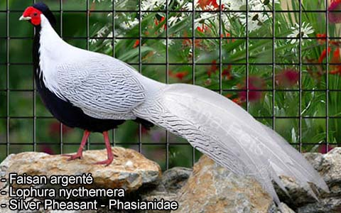 Faisan argenté – Lophura nycthemera – Silver Pheasant – Phasianidae- xopark7