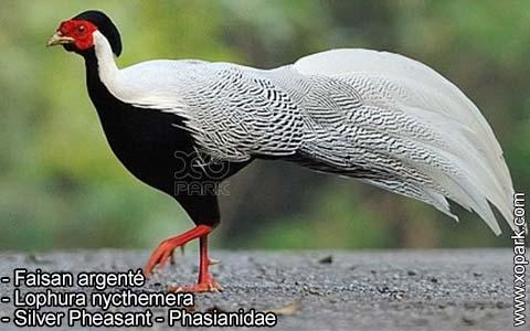 Faisan argenté – Lophura nycthemera – Silver Pheasant – Phasianidae- xopark8