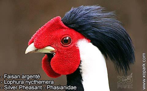 Faisan argenté – Lophura nycthemera – Silver Pheasant – Phasianidae- xopark9