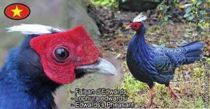 Faisan d'Edwards - Lophura edwardsi - Edwards's Pheasant