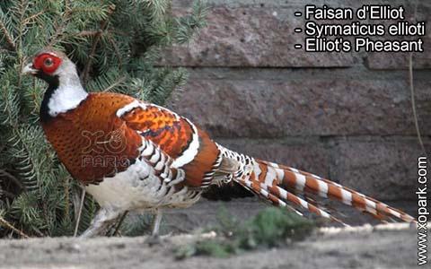 Faisan d'Elliot – Syrmaticus ellioti – Elliot's Pheasant – xopark1