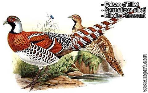Faisan d'Elliot – Syrmaticus ellioti – Elliot's Pheasant – xopark2