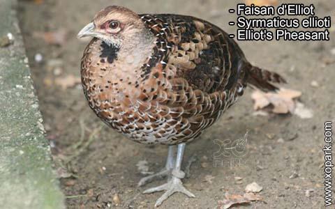 Faisan d'Elliot – Syrmaticus ellioti – Elliot's Pheasant – xopark4