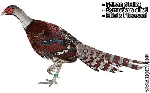 Faisan d'Elliot – Syrmaticus ellioti – Elliot's Pheasant – xopark7