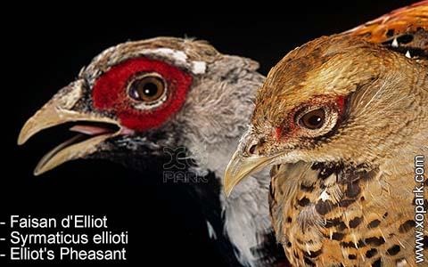 Faisan d'Elliot – Syrmaticus ellioti – Elliot's Pheasant – xopark8