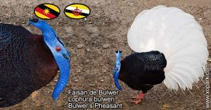 Faisan de Bulwer - Lophura bulweri - Bulwer's Pheasant
