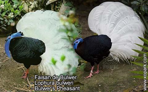Faisan de Bulwer – Lophura bulweri – Bulwer's Pheasant – xopark2