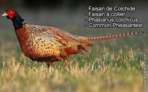Faisan de Colchide – Faisan à collier – Phasianus colchicus – Common Pheasantest – xopark5