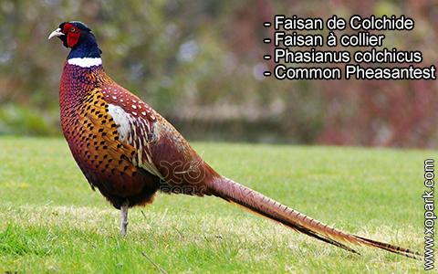 Faisan de Colchide – Faisan à collier – Phasianus colchicus – Common Pheasantest – xopark9
