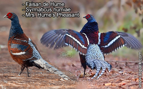 Faisan de Hume – Syrmaticus humiae – Mrs. Hume's Pheasant – xopark1