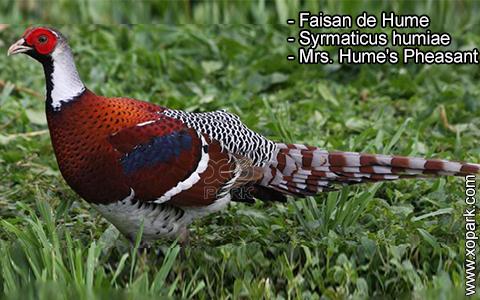 Faisan de Hume – Syrmaticus humiae – Mrs. Hume's Pheasant – xopark10