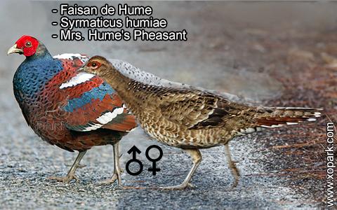 Faisan de Hume – Syrmaticus humiae – Mrs. Hume's Pheasant – xopark2