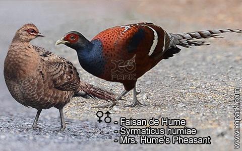 Faisan de Hume – Syrmaticus humiae – Mrs. Hume's Pheasant – xopark3