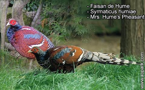 Faisan de Hume – Syrmaticus humiae – Mrs. Hume's Pheasant – xopark4