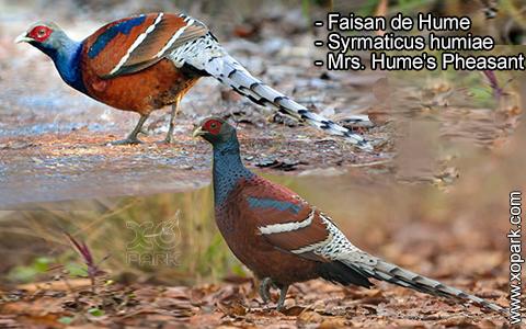 Faisan de Hume – Syrmaticus humiae – Mrs. Hume's Pheasant – xopark5