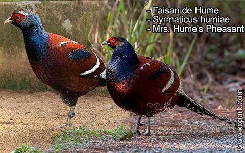 Faisan de Hume – Syrmaticus humiae – Mrs. Hume's Pheasant – xopark6