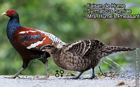 Faisan de Hume – Syrmaticus humiae – Mrs. Hume's Pheasant – xopark7