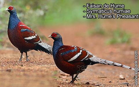 Faisan de Hume – Syrmaticus humiae – Mrs. Hume's Pheasant – xopark8