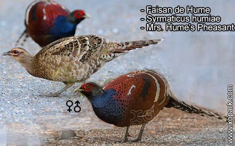 Faisan de Hume – Syrmaticus humiae – Mrs. Hume's Pheasant – xopark9