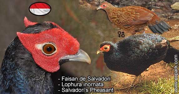 Faisan de Salvadori - Lophura inornata - Salvadori's Pheasant - Phasianidés - Phasianidae - Galliformes - Vertebr /